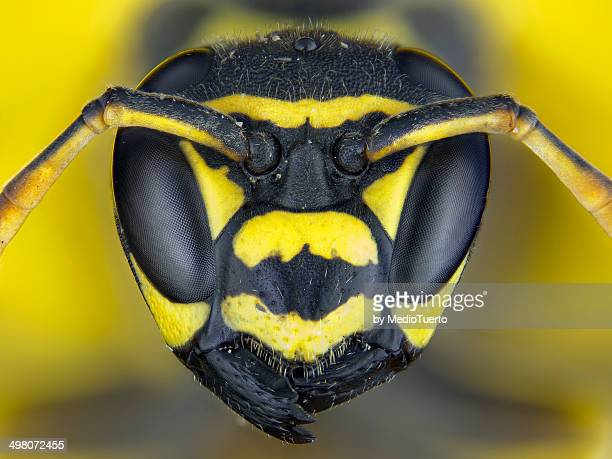 the prettiest of the kingdom - paper wasp stock pictures, royalty-free photos & images