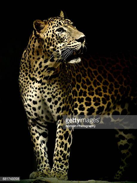 The Prince Leopard