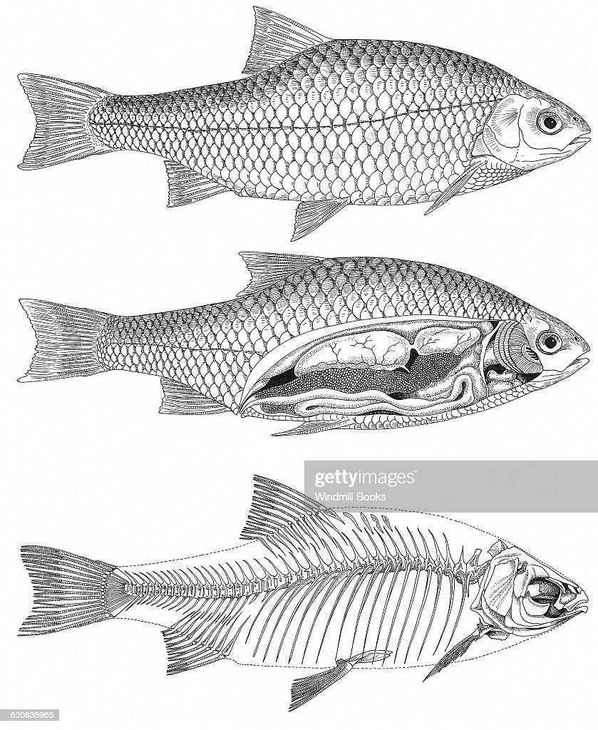 The Principal Of External Features Of A Fish The Internal Organs Of