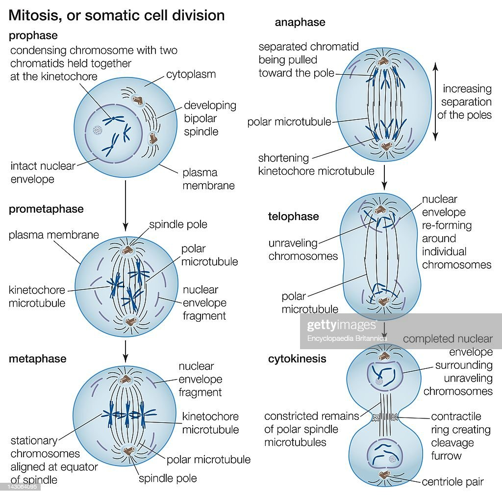 The process of cell division by mitosis pictures getty images the process of cell division by mitosis pooptronica Gallery