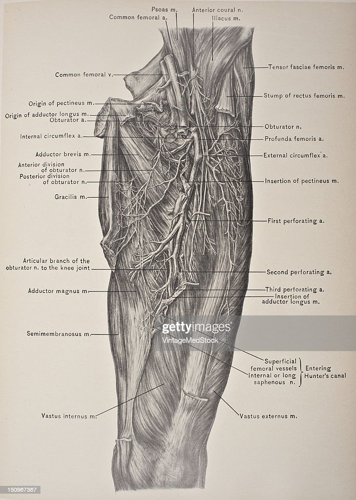 Profunda Femoris Artery Obturator Nerve Pictures Getty Images