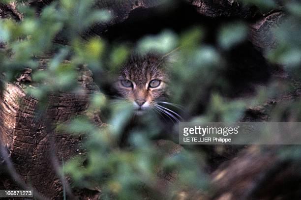 The Protection Of Wild Animals In France En France dans la végétation la tête d'un chat sauvage caché dans un tronc
