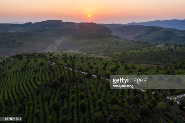 the pu'er tea mountain, yunnan province, china - yunnan stockfoto's en -beelden