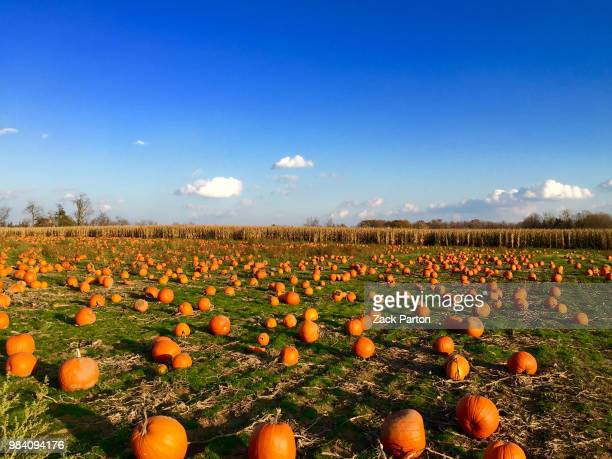the pumpkin patch - pumpkin patch stock photos and pictures