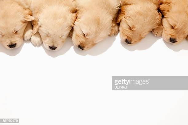the puppies of the golden retriever - group f stockfoto's en -beelden