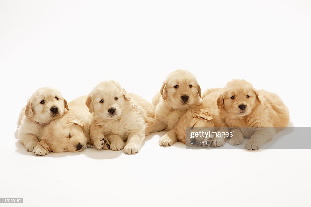 The puppies of the golden retriever : Stock Photo