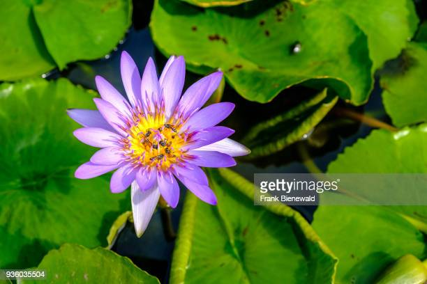 The purple blossom of a lotus flower is blooming in a pool in The Grand Palace