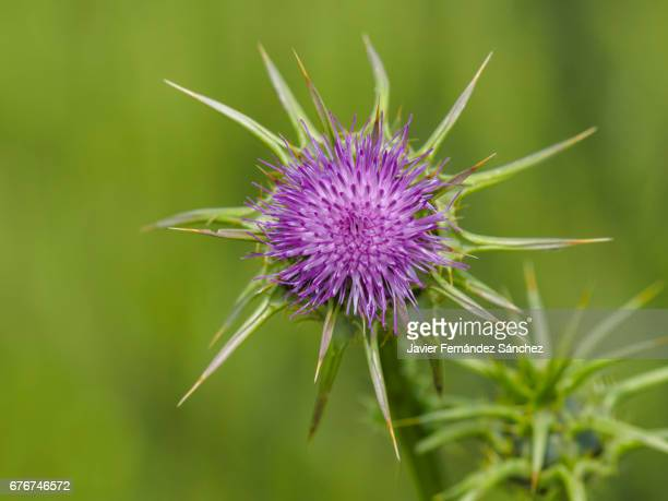 The purple flower of the Milk Thistle (Silybum marianum), on the unfocused green background of a wheat field.