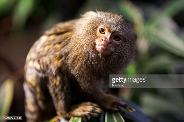 The pygmy marmoset (Cebuella pygmaea)