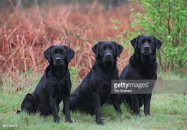 The Queen's Black Labrador Gundogs At The Pedigree Chum Gundog Weekend On The Sandringham Estate