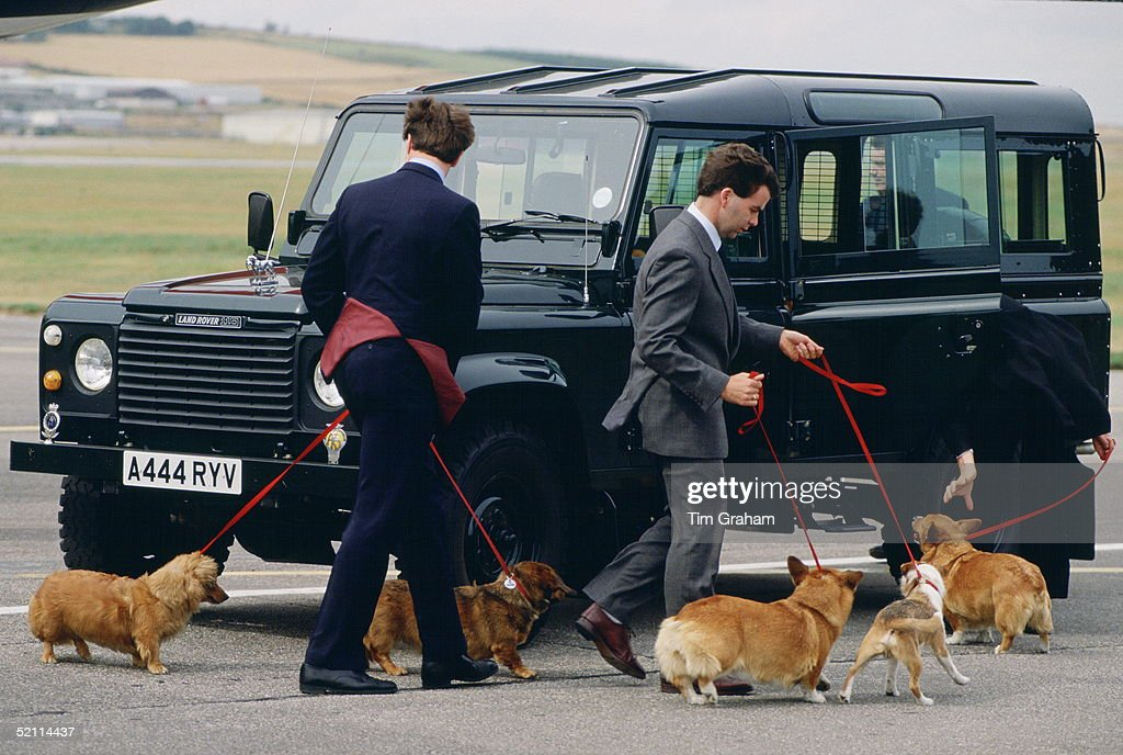 The Queen's Corgis And Long-haired Dachshunds Pet Dogs Arriving At Aberdeen Airport Being Led By Members Of Staff To A Waiting Land Rover Car. Each Dog Has A Collar With A Metal Name Tag And Is Microchipped In Case Of Loss.circa 1980s