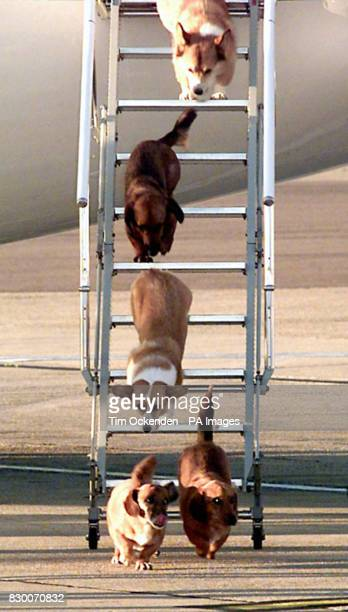 The Queen's dogs leave an aircraft of The Queen's Flight from Aberdeen at Heathrow Airport after flying from Balmoral with Queen Elizabeth II. The...