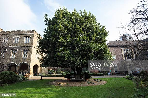 The Queen's Mulberry Tree is pictured at the London Charterhouse in Smithfield on January 27 2017 in London England The London Charterhouse dates...