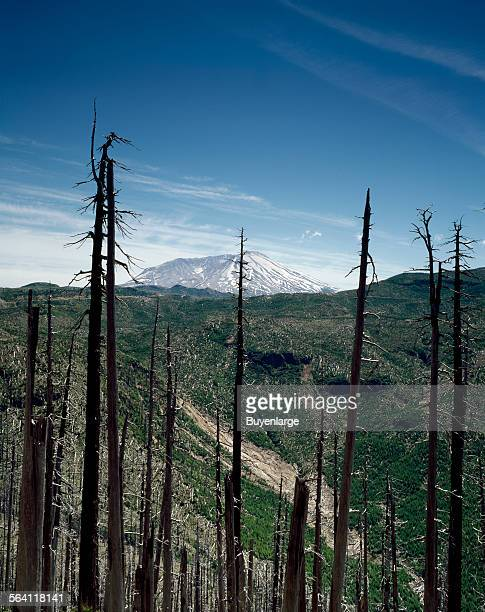 The quiet Mount St Helens volcano in Washington looms in the distance beyond the burnedout remants of the gigantic eruption of 1980