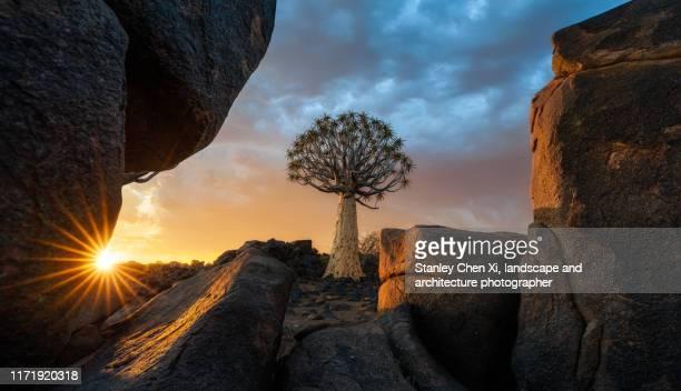 the quiver tree in the void of rocks - köcherbaum stock-fotos und bilder