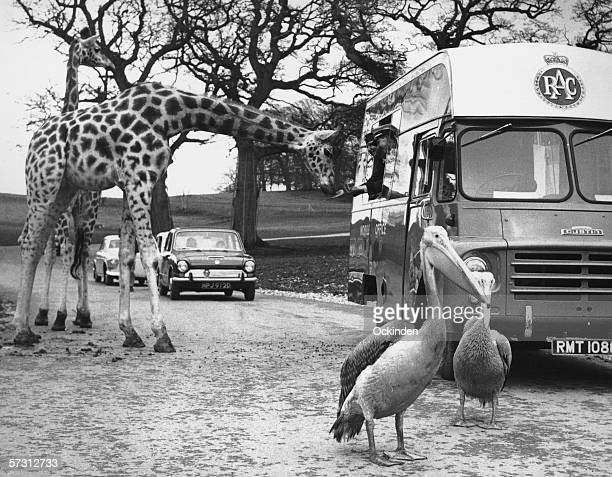 The RAC Mobile Office stationed at Longleat Safari Park in Wiltshire also serves as a mobile canteen for this enterprising giraffe 13th May 1969 S A...