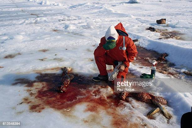 The Rainbow Warrior crossed the Atlantic so to combat the yearly massacre of baby seals at Newfoundland Hunters had projected the slaughter of 15000...