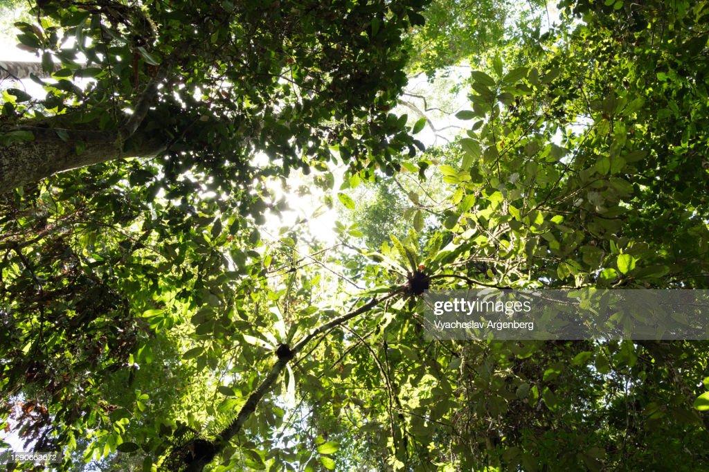 The rainforest canopy, Borneo rainforest, Malaysia : Stock Photo