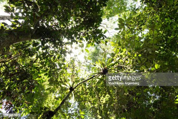 the rainforest canopy, borneo rainforest, malaysia - dipterocarp tree stock pictures, royalty-free photos & images