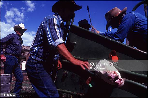 The ranch owner Vince Kontny carefully applies the brand to a hereford calf as Roland Smith far left stands by with vaccines Kontny purchased the...