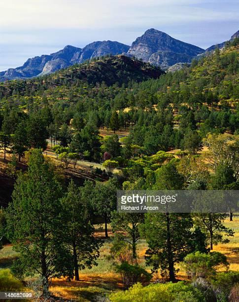 The Ranges and Native Pine forset, Black Gap - Flinders Rangers National Park, South Australia