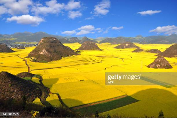 The rapeseed plants in full bloom and ready for harvest in the farms in Luoping southwest China's Yunnan province on March 15 2012 The expansion of...