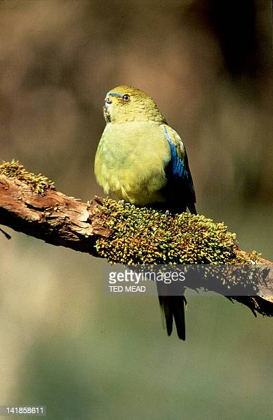 The rare and endangered OrangeBellied Parrot (Neophema chrysogaster) Migrates across Bass Strait between Tasmania and Southeast Australia.