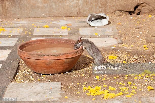 Der Rat Tempel In Bikaner, Indien