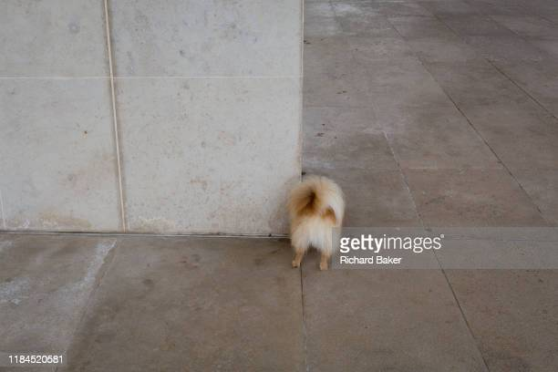 The rear of a toy dog breed as it sniffs a corner of the concrete entrance of the Design Museum on 17th November 2019 in London England