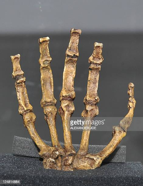 The reconstructed hand of the 'Sediba Fossil' the remains of a hominin discovered by Professor Lee Berger an American who is a professor at South...
