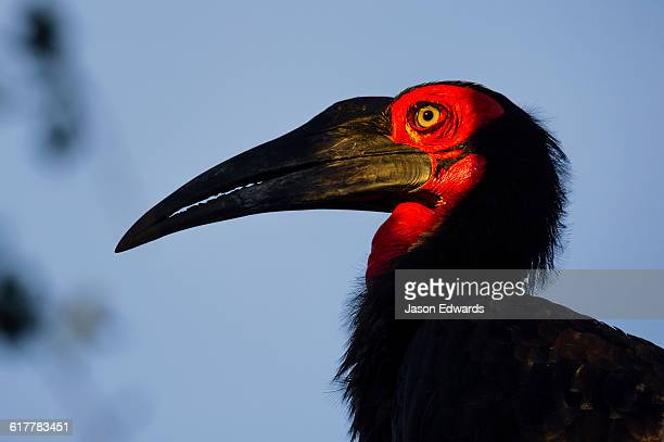 The red fleshy face and long pointed bill of a Southern Ground Hornbill.