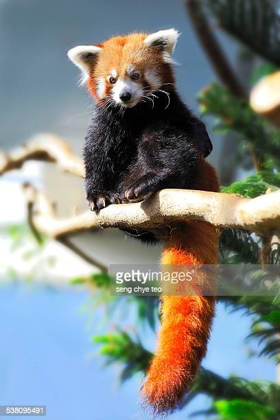 the red panda - red panda stock pictures, royalty-free photos & images