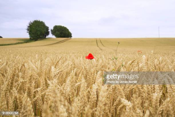 The red poppy in the field