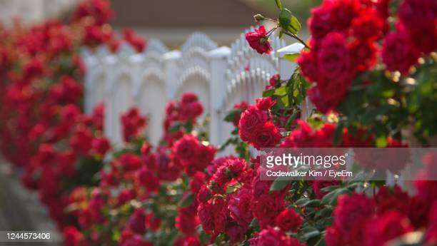 the red rose on white fence - red roses garden stock pictures, royalty-free photos & images
