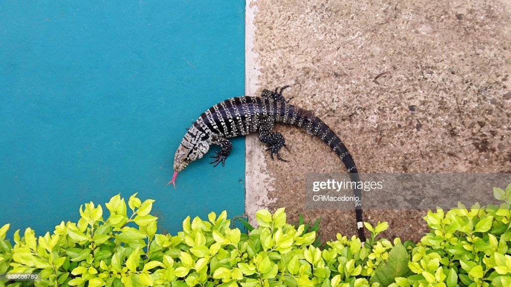 The red tongue lizard. : Stock Photo