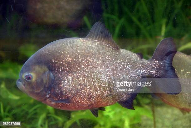 The red-bellied piranha