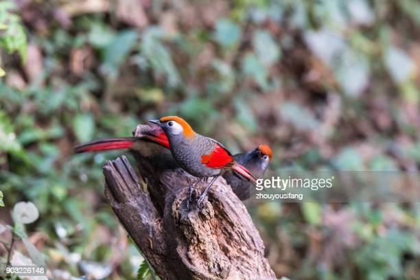 the red-tailed laughingthrush bird - provinz yunnan stock-fotos und bilder