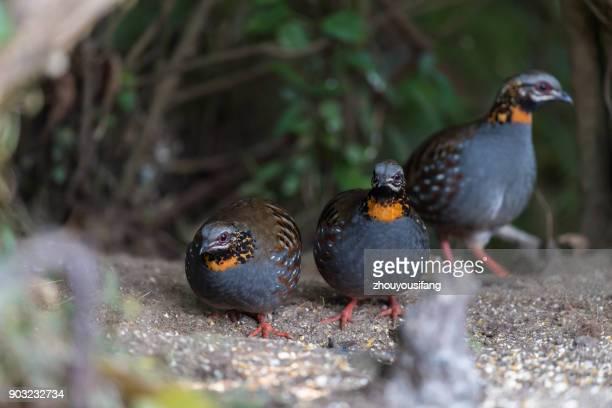 the red-throated partridge bird - provinz yunnan stock-fotos und bilder