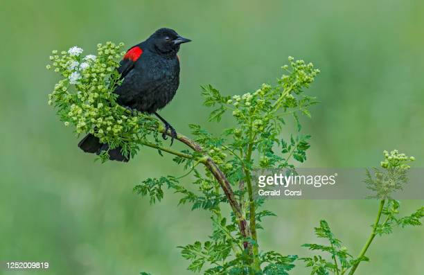 the red-winged blackbird (agelaius phoeniceus) is a passerine bird of the family icteridae found in most of north and much of central america. - petaluma stock pictures, royalty-free photos & images