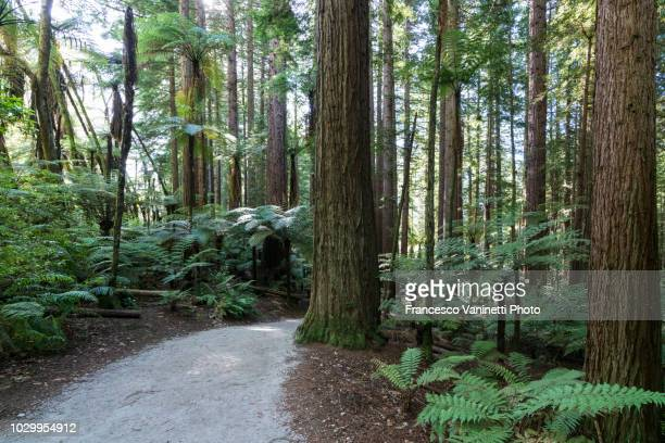 the redwoods, rotorua, new zealand. - north island new zealand stock pictures, royalty-free photos & images