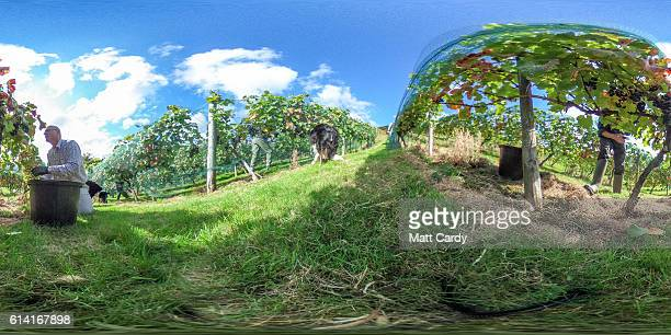 The Regent grape harvest is collected by hand at the Parva Farm Vineyard in Tintern on October 12 2016 near Chepstow Wales The farm which has been...
