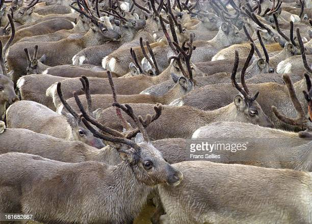 CONTENT] The reindeer also known as the caribou in North America is a deer from the Arctic and Subarctic including both resident and migratory...