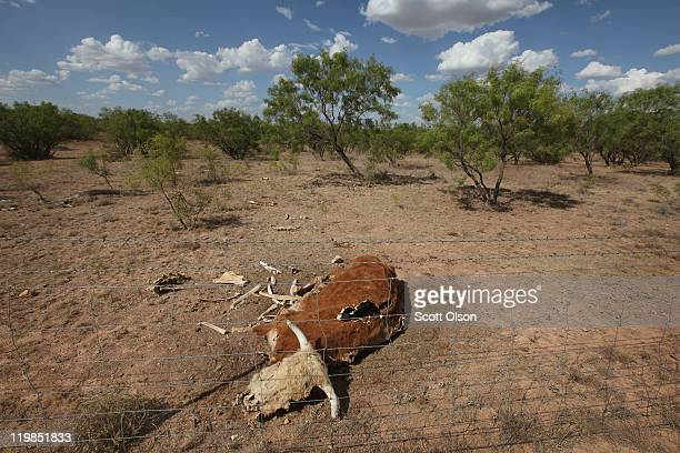 The remains of a decomposing cow lies in a pasture July 25, 2011 on a ranch near San Angelo, Texas. A severe drought in the region has caused...