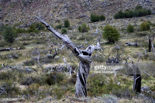 The remains of a forest in the Cordon Feruglio burnt by settlers about a century ago to clear the land for sheep farming greets visitors on a...