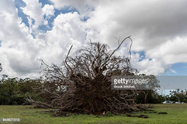 The remains of a large African Mahogany tree felled during Cyclone Marcus is seen on April 11 2018 in Darwin Australia Darwin is the capital of the...