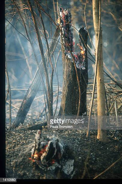 The remains of a tree smolders March 16 1998 in East Kalimantan Indonesia The arrival of an early dry season has resulted in fires raging in the East...