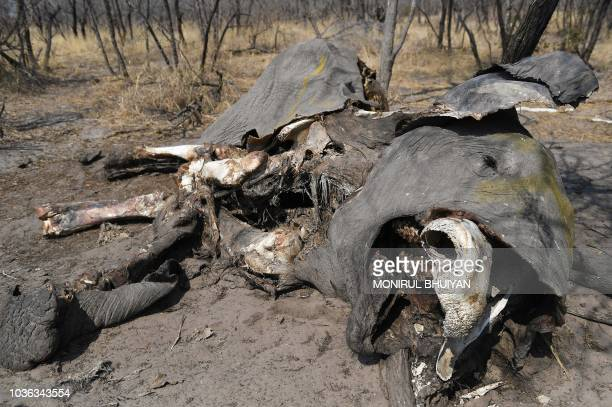 The remains of an elephant killed by the poachers in Chobe on September 19 2018 Elephants Without Borders claimed two weeks ago that it had...