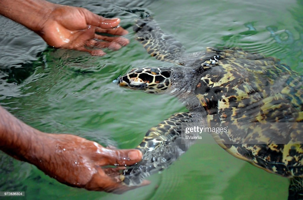 The rescued tortoise holds its flippers with human hands  . Sea Turtles Conservation Research Project in Bentota, Sri Lanka. saving animals, trusting people : Stock Photo