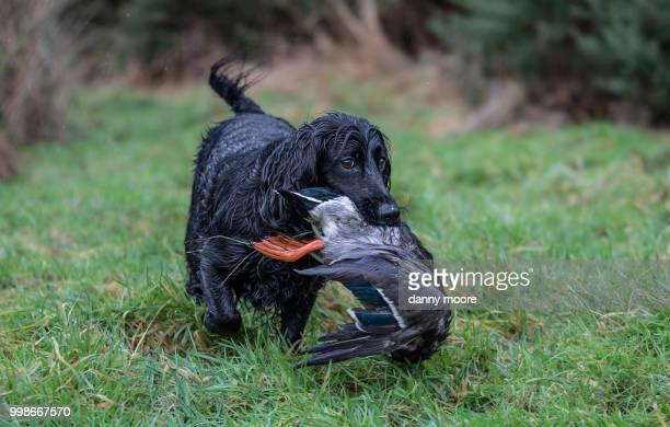 the retrieve - cocker spaniel foto e immagini stock