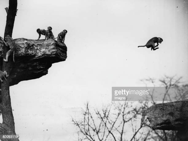 The Rhesus Macaques of the London Zoo are obviously full of beans in their outdoor enclosure, Photograph, Around 1930 [Die springlebendigen...